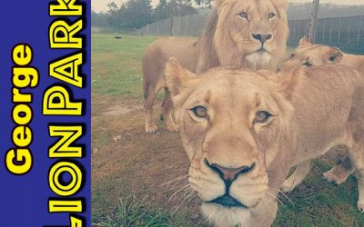 Visit the George Lion Park